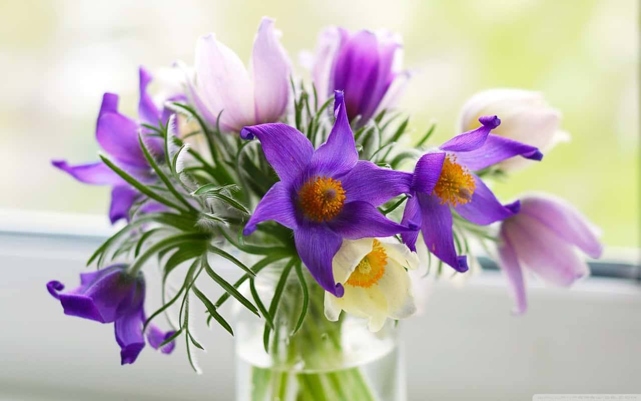 pasque_flowers-wallpaper-1280x800