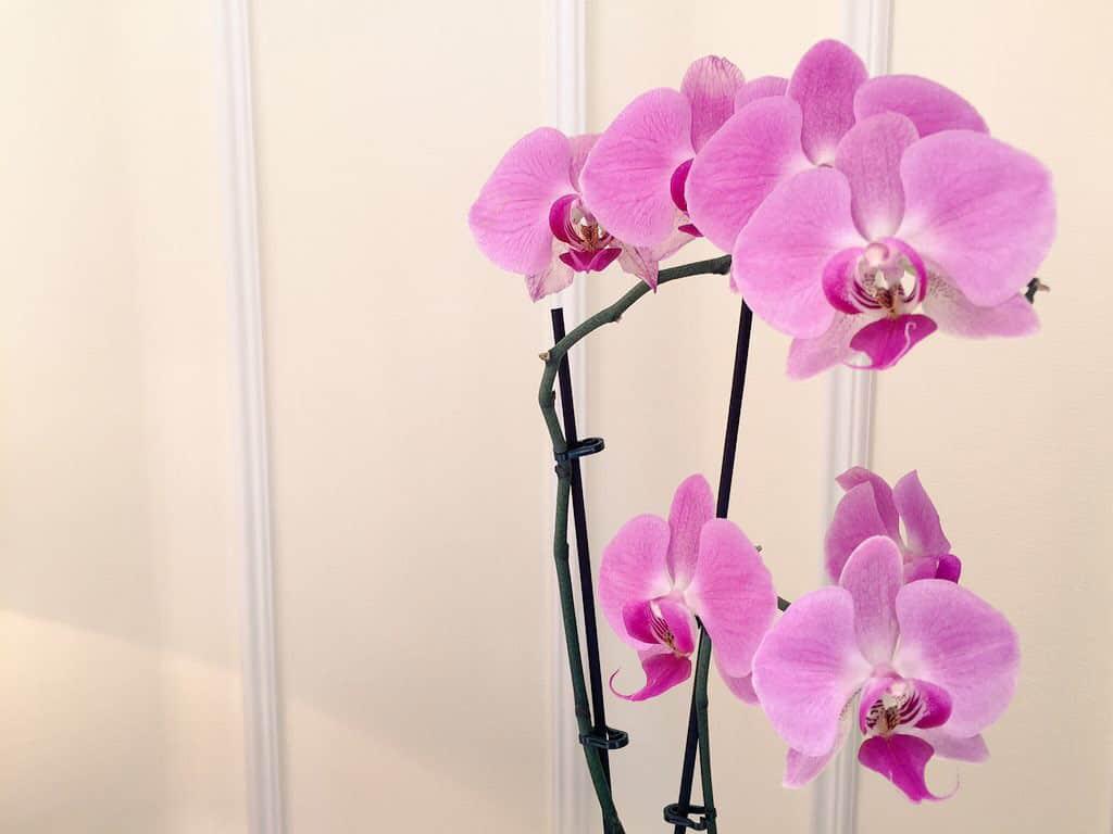 Orchidee nella mia stanza