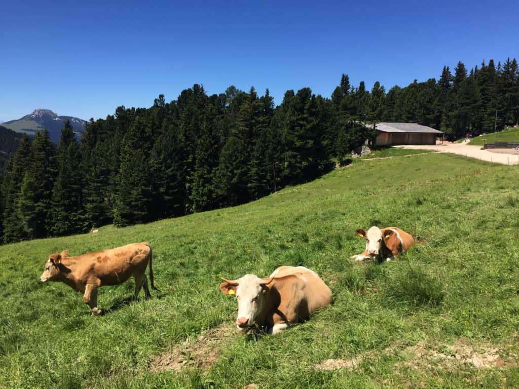 latemar escursioni mucche