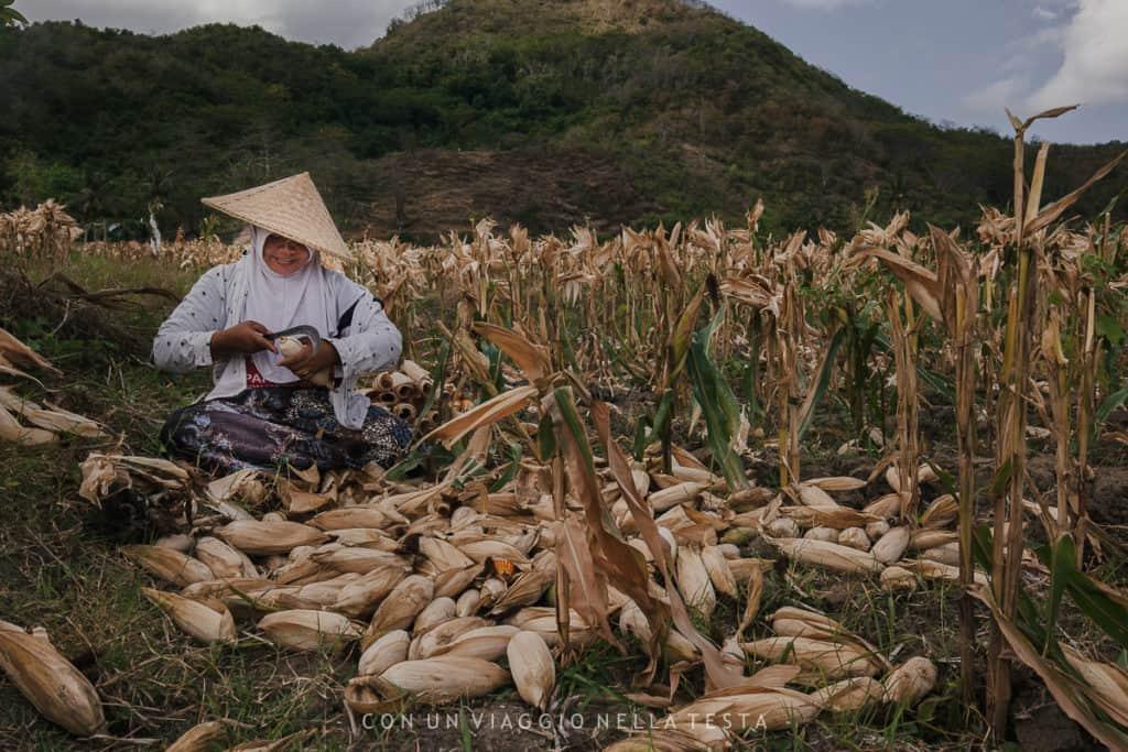 visitare lombok campi pannocchie