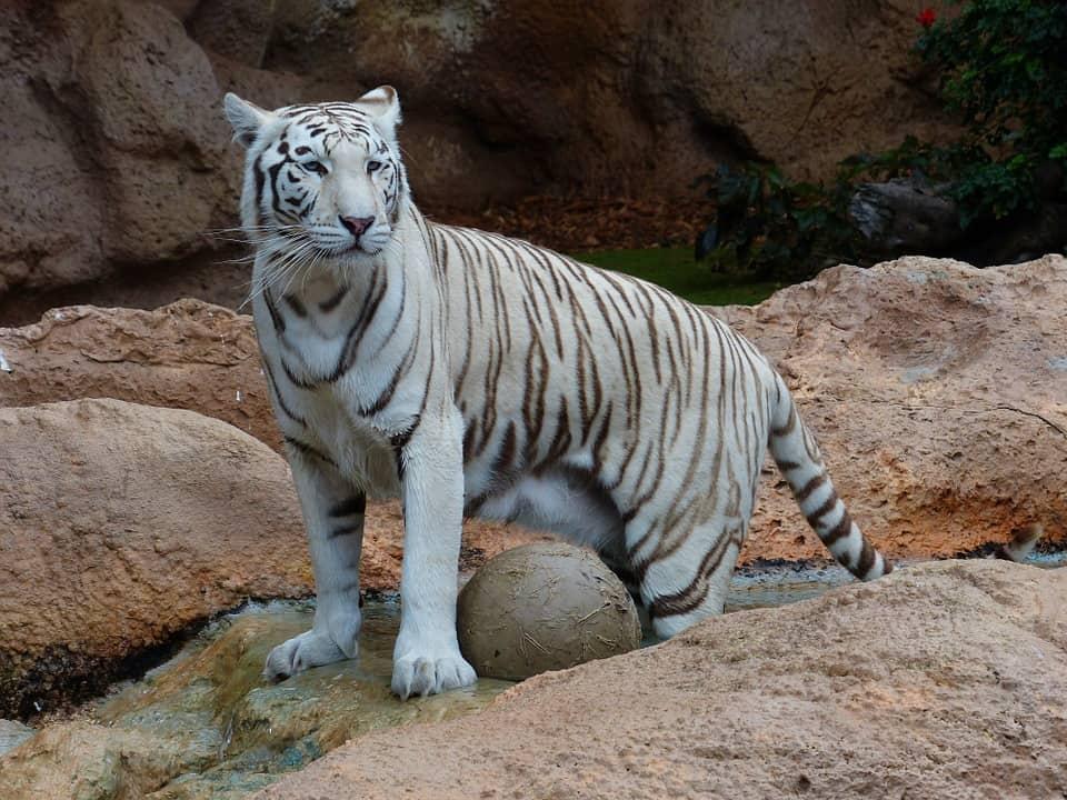 nepa da non perdere tigre del bengala